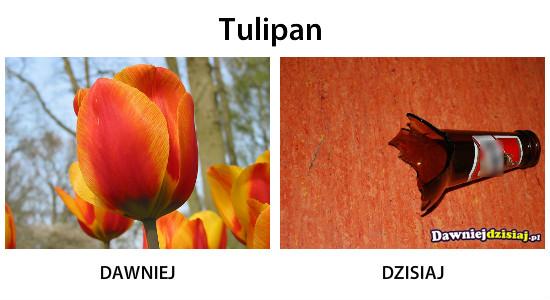 Tulipan –
